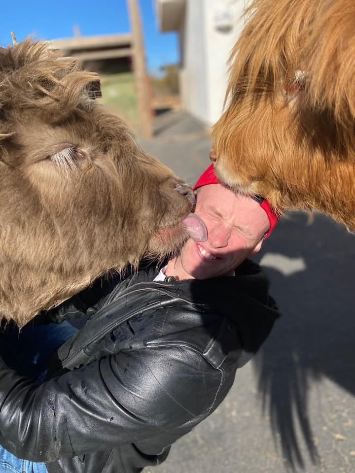 Mini highland cows-Gwen and Olive