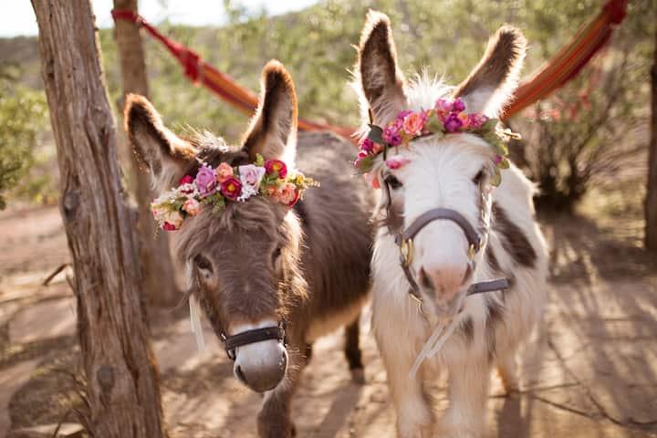 Mini Wooly Donkeys-Jolene and Liesal