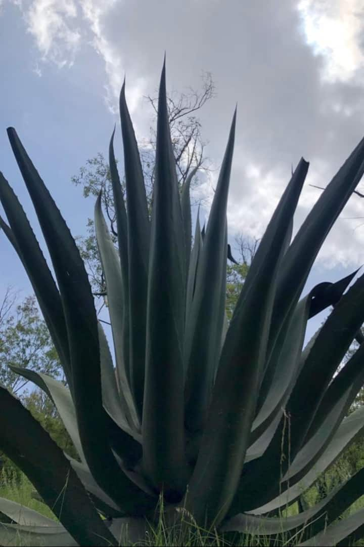 National flora such as the agave plant