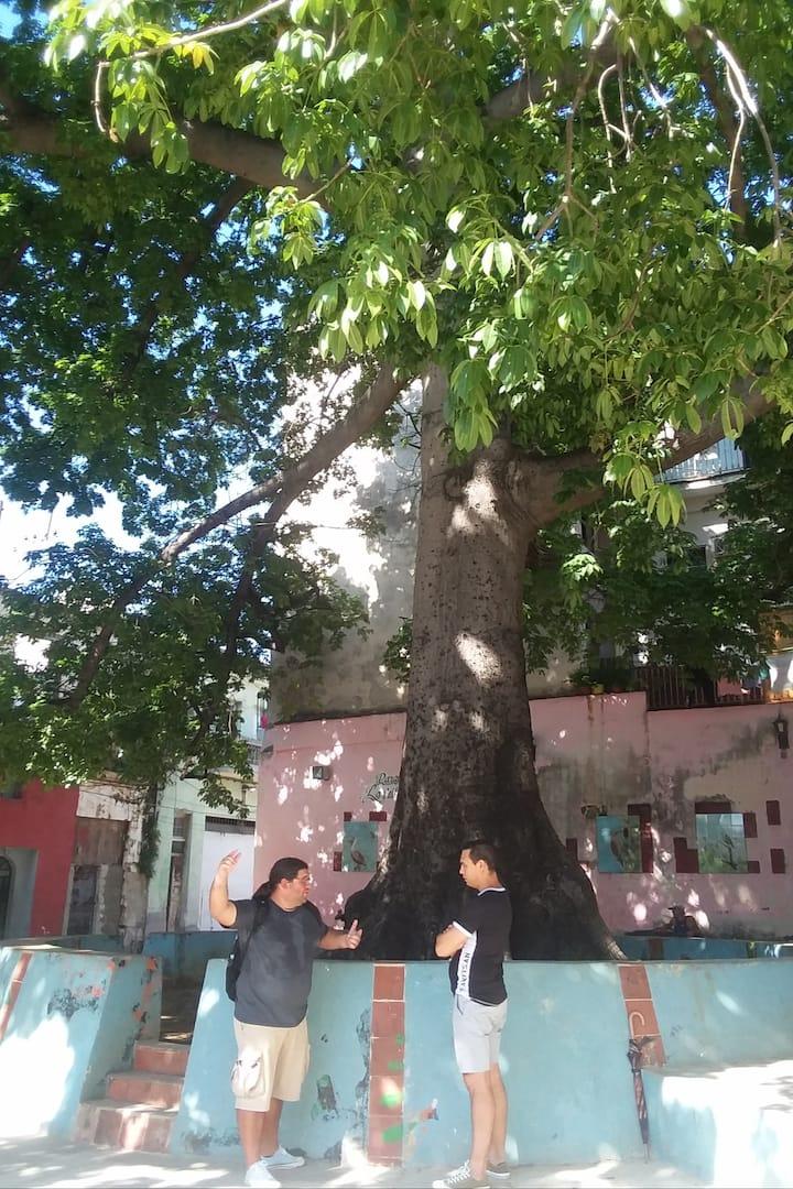 Al pie de la Ceiba, árbol sagrado