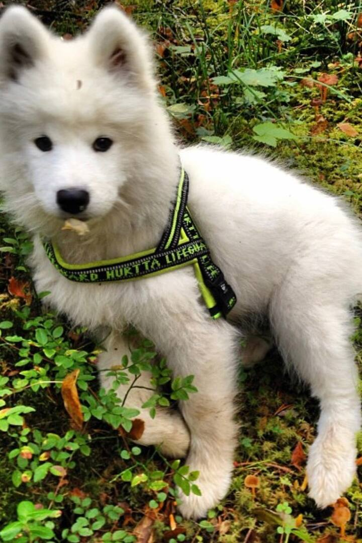 Puppy Abizko found a field of treats