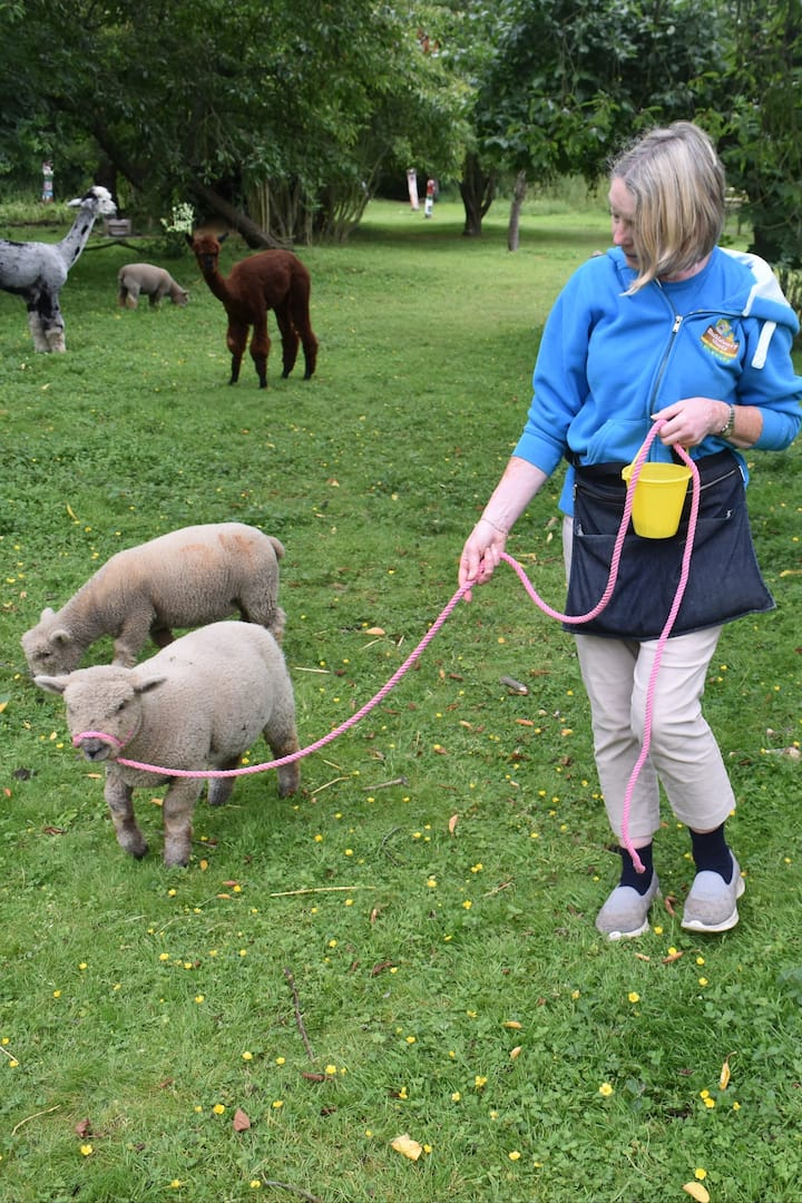 Walking lambs