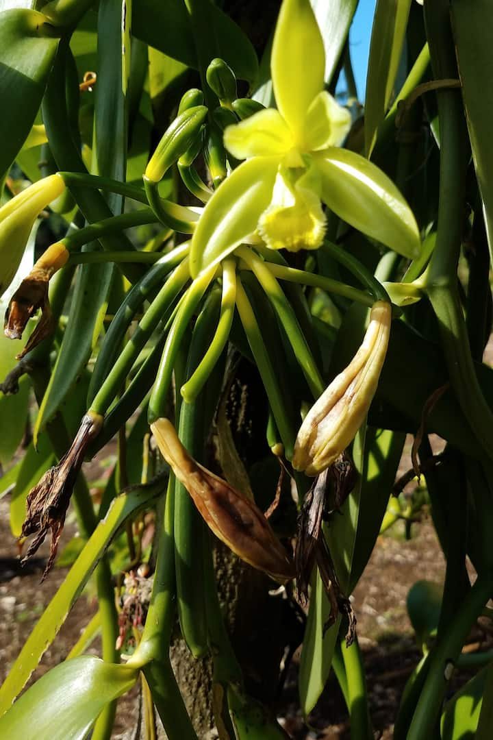 Vanilla Orchids and new beans forming