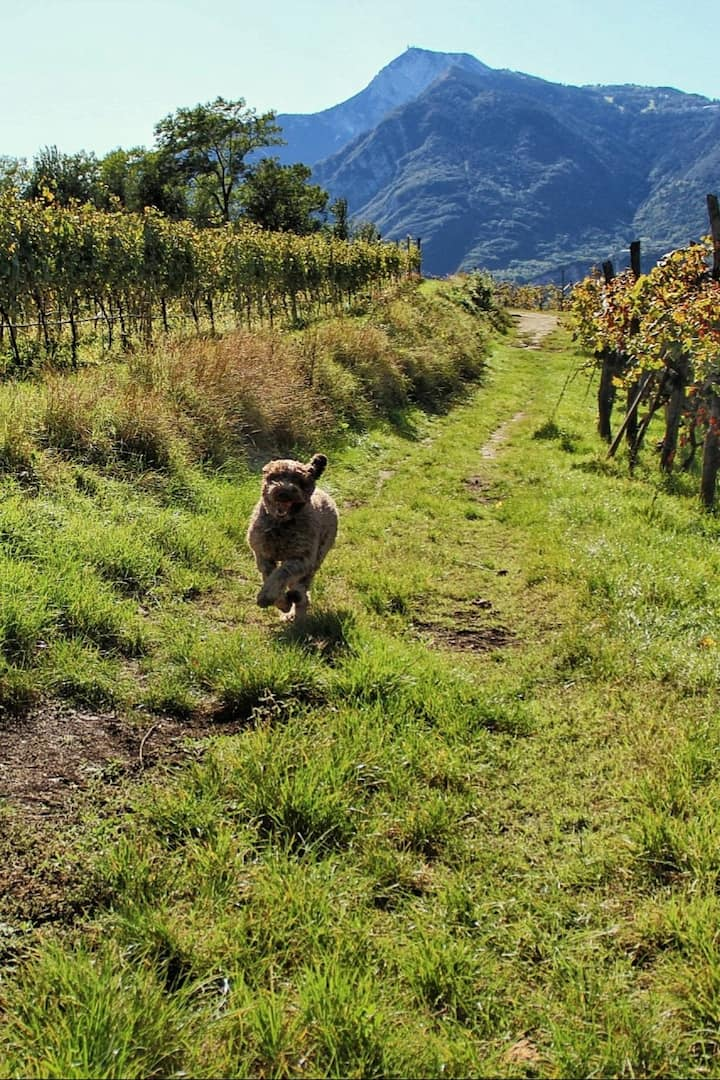 Bacco in the vineyards