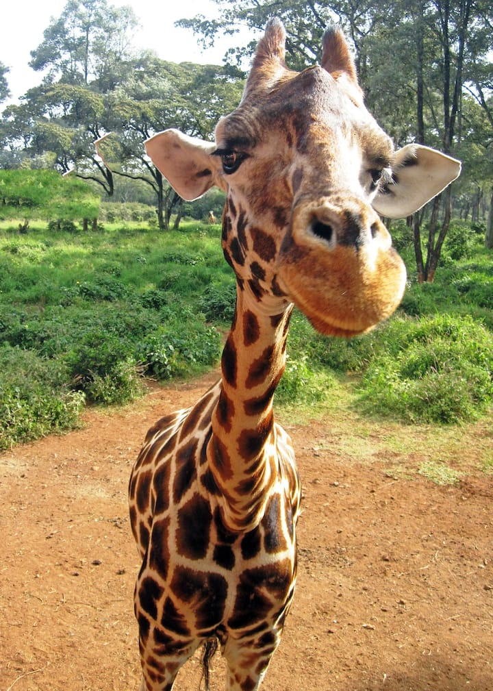 Feeding giraffes at Giraffe Manor.