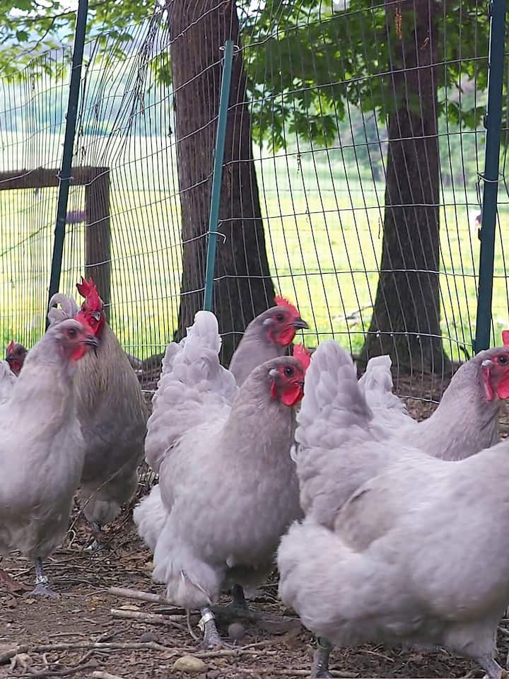 Learn what makes chickens happy