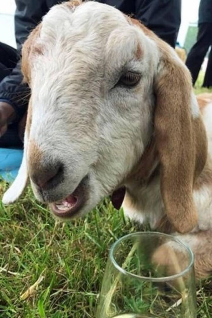 Adorable goats!