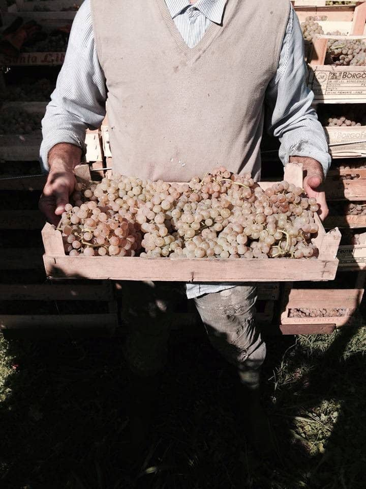 Our Erbaluce Grapes