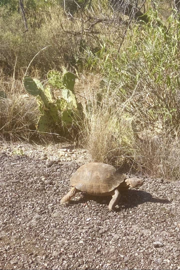 Desert Tortoise are the best