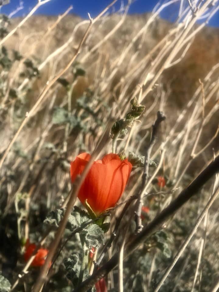 Sphaeralcea ambigua, Desert Globemallow