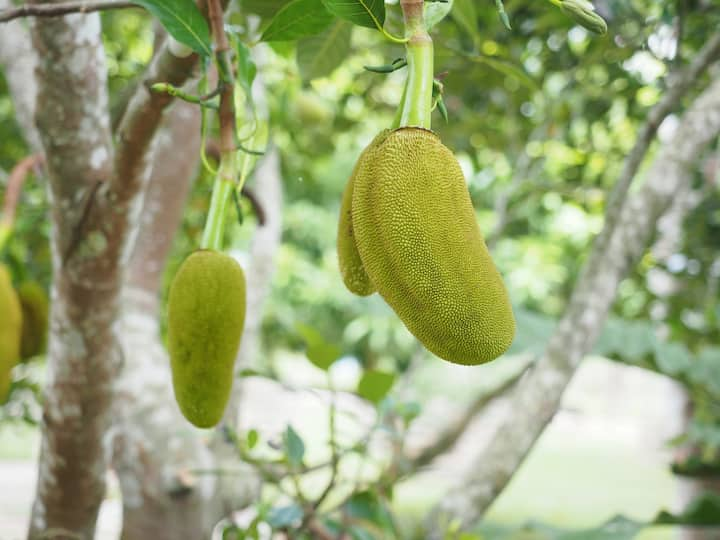 young jackfruit growing in fruit orchard