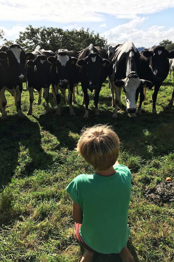A boy sitting feeding apples  to cows