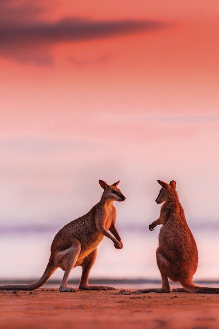 Australian Agile Wallabies Boxing !