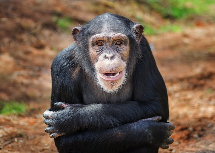 Amy is one of the chimps in sanctuary