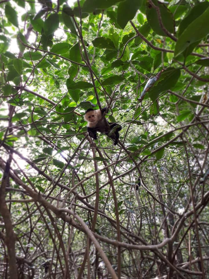 Mangrove Monkey