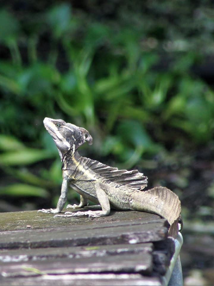 "Basilisc ""jesuschrist lizard"""