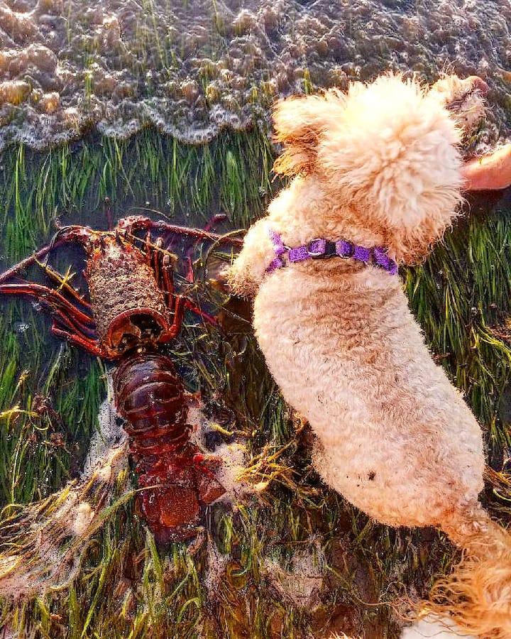 Lobster molt