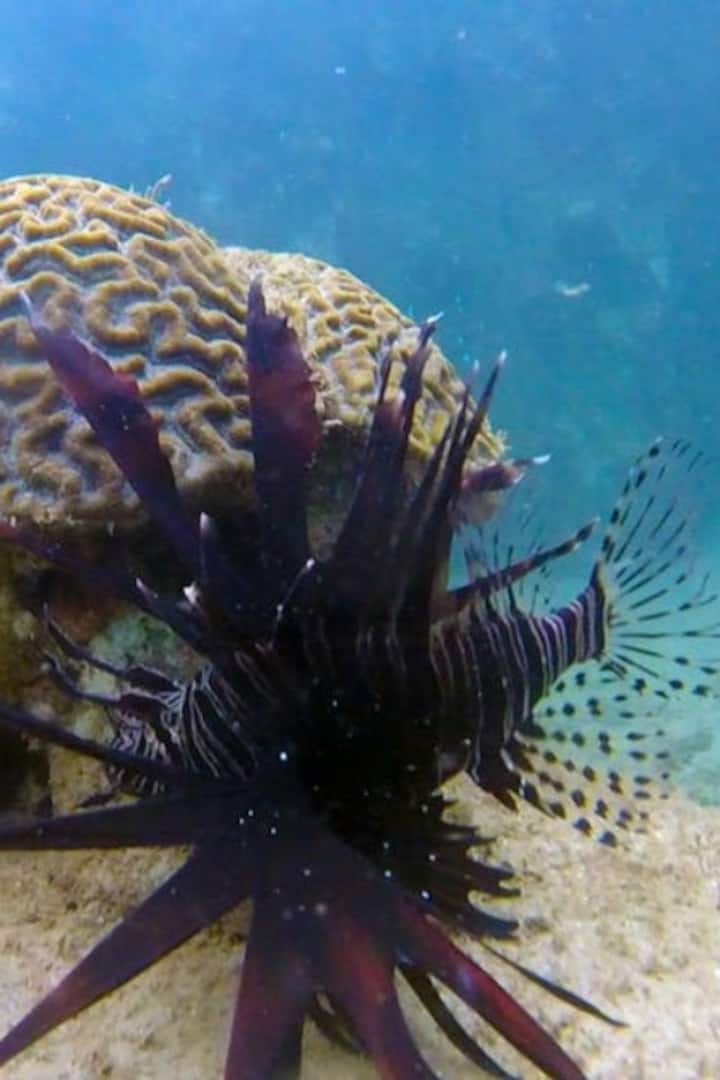 Lion Fish Puerto Rico