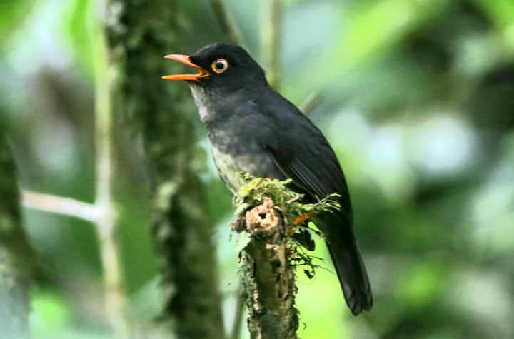Slaty backed Nightingale Thrush