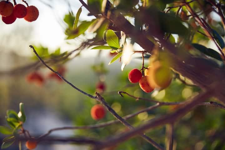Medronho Berry