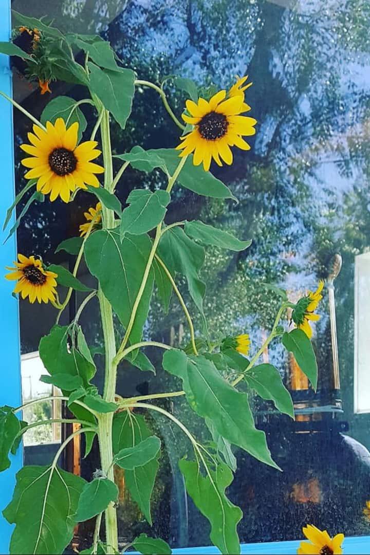 Sunflowers outside of the studio window