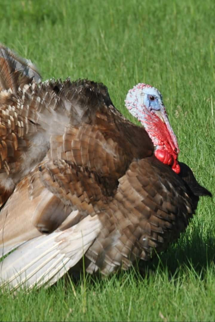 Our Turkeys, Tom & Jerry are  friendly