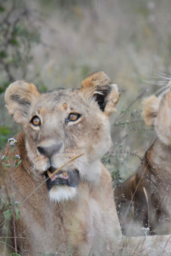 Two lionesses from the Kf pride