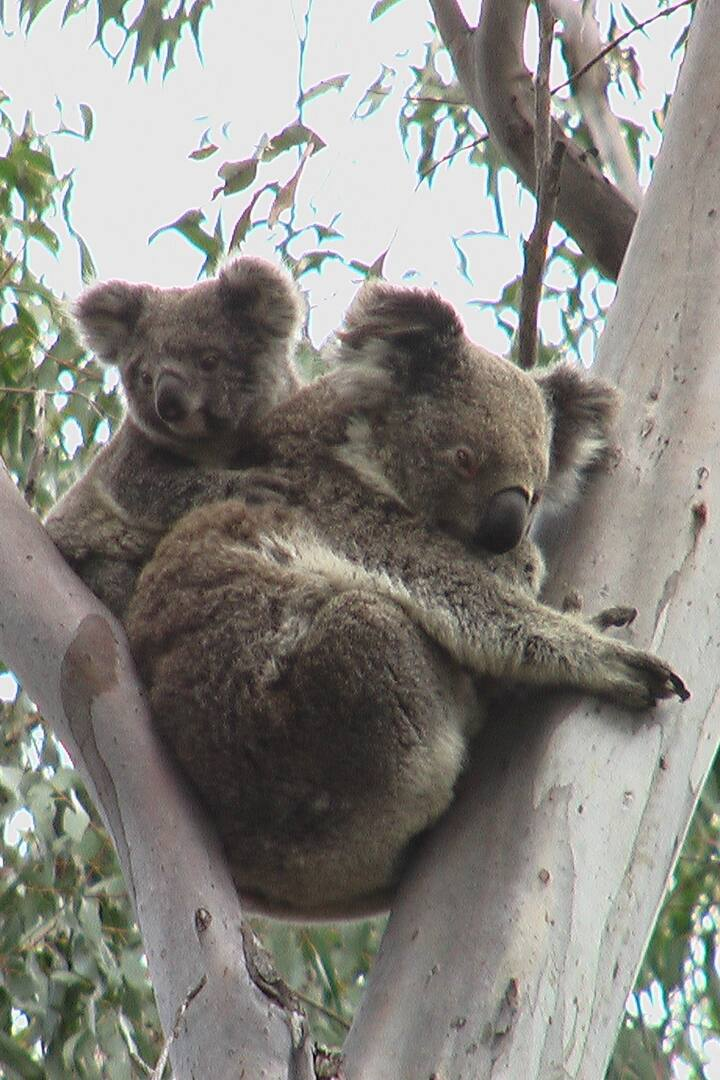 Look for Koalas in the wild