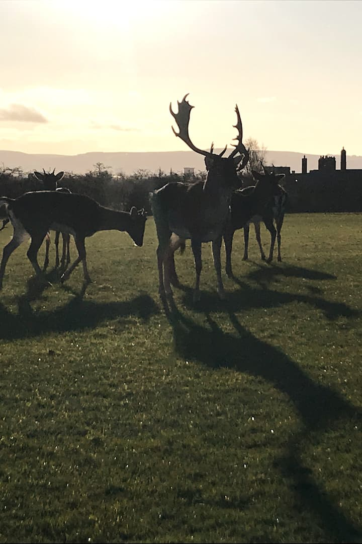Stag at sunset Phoenix park