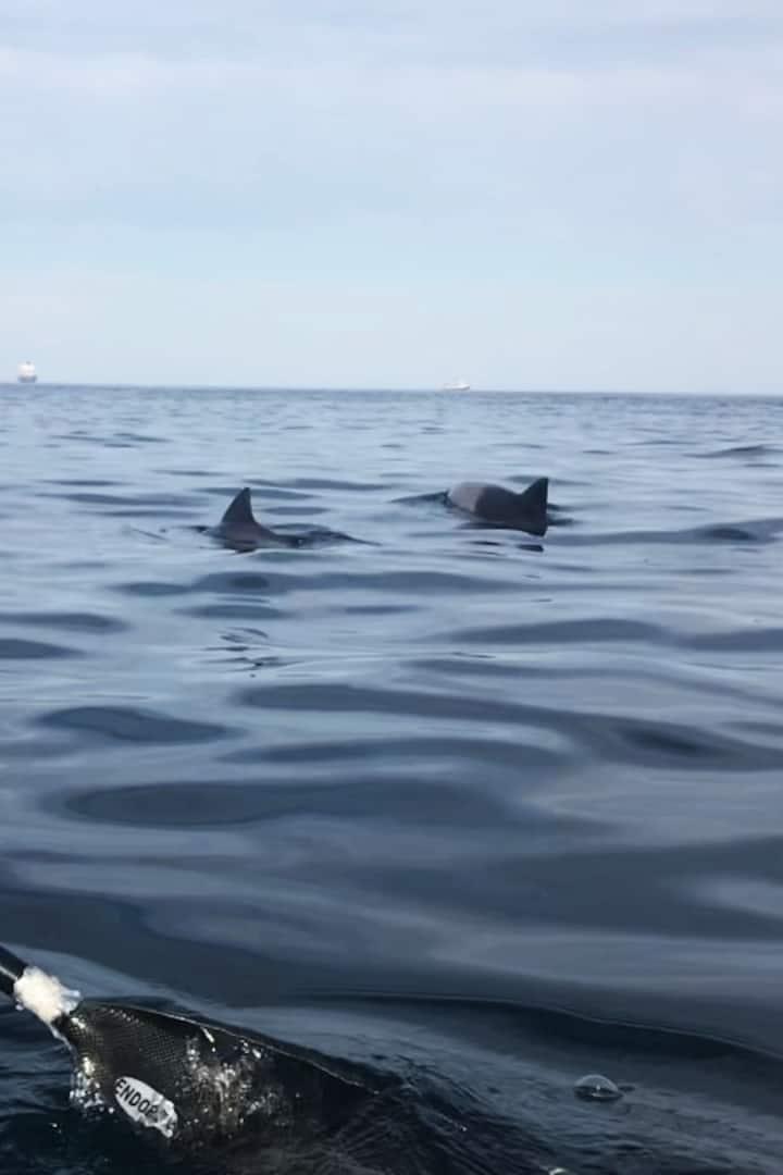 resident Heaviside dophins