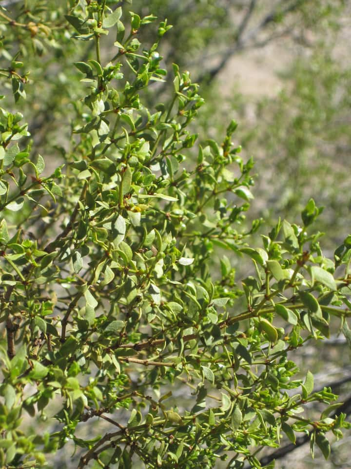 Creosote or chaparral herb