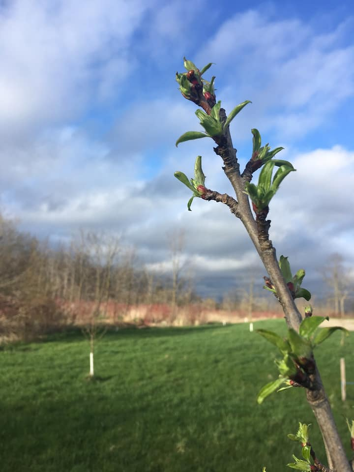 Early Spring Buds on a crabapple tree.