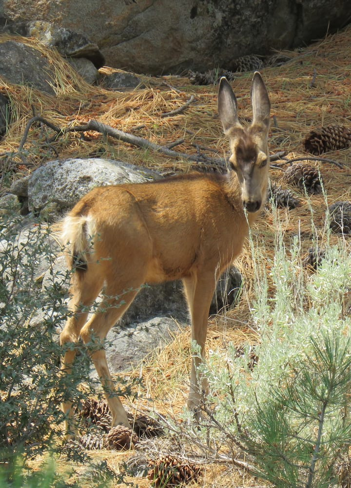 Mule Deer - check out those goofy ears!