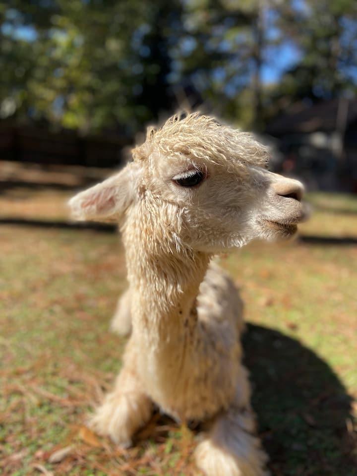 Elfie Fay, the baby alpaca