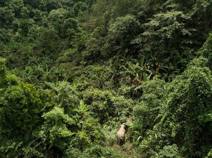 Elephants deep in their forest habitat