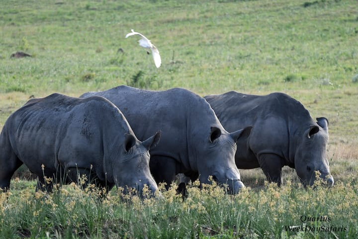 Rhinos & Cattle Egret fly by