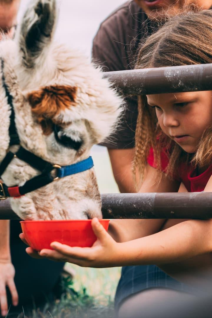Giving treats to alpacas