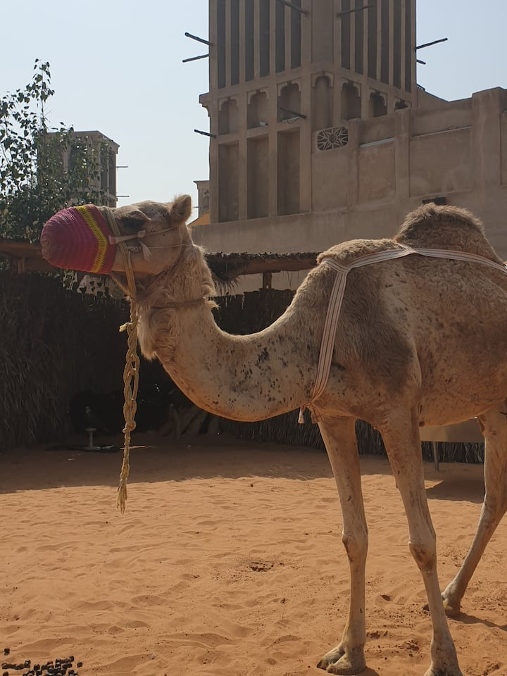 Meet a real Camel in the city.