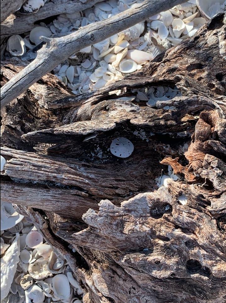 sand dollar  and shells
