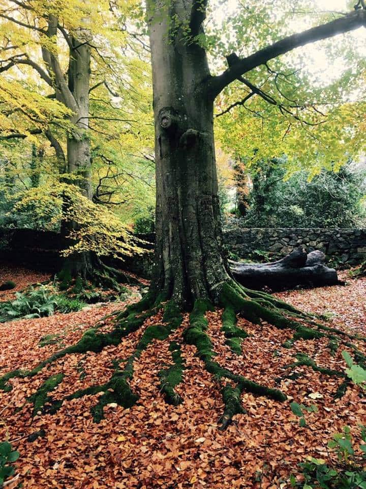 The great Beech at the glen stream