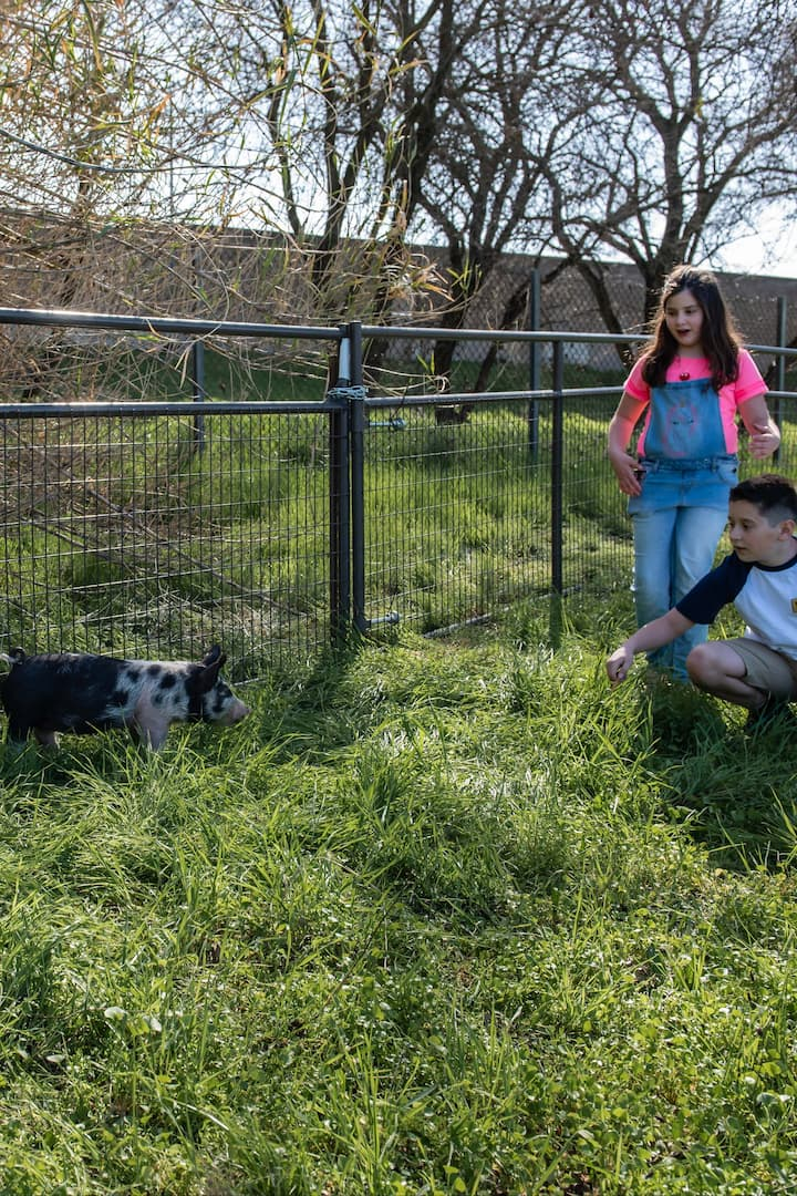 Interact with our farm animals - pigs!
