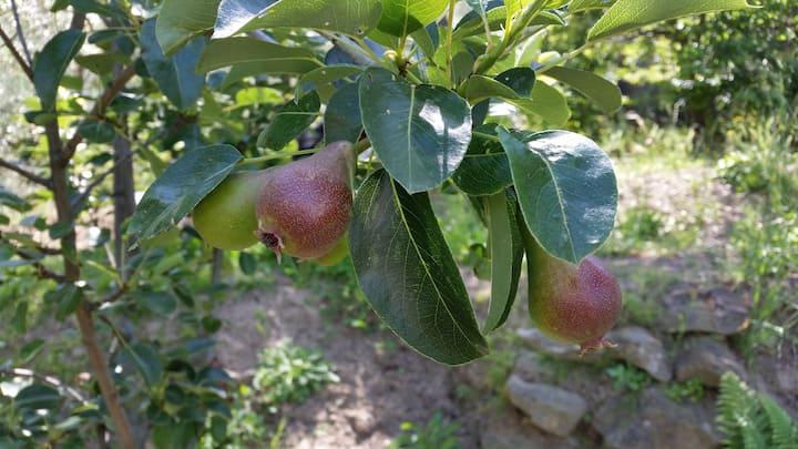 pears ready for september
