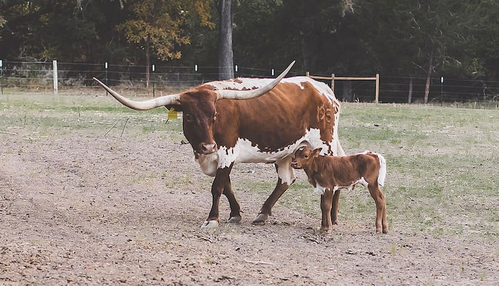 Meet our new baby longhorn :)