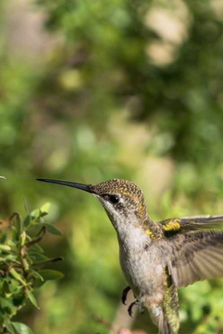 Hummingbirds are pollinators