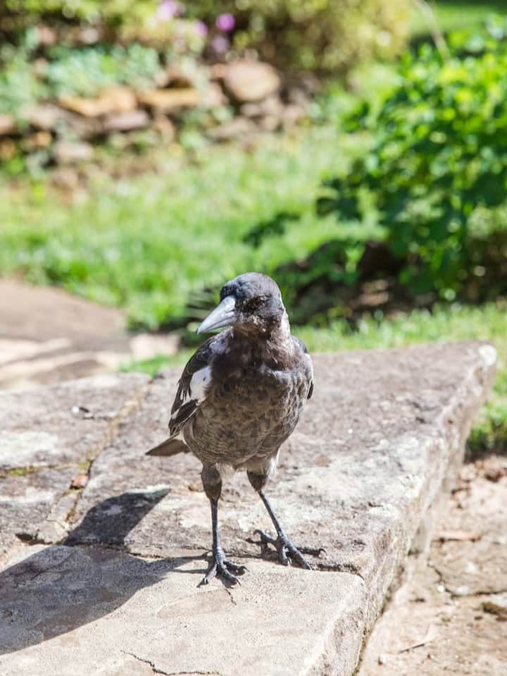 Young Australian Magpie chick