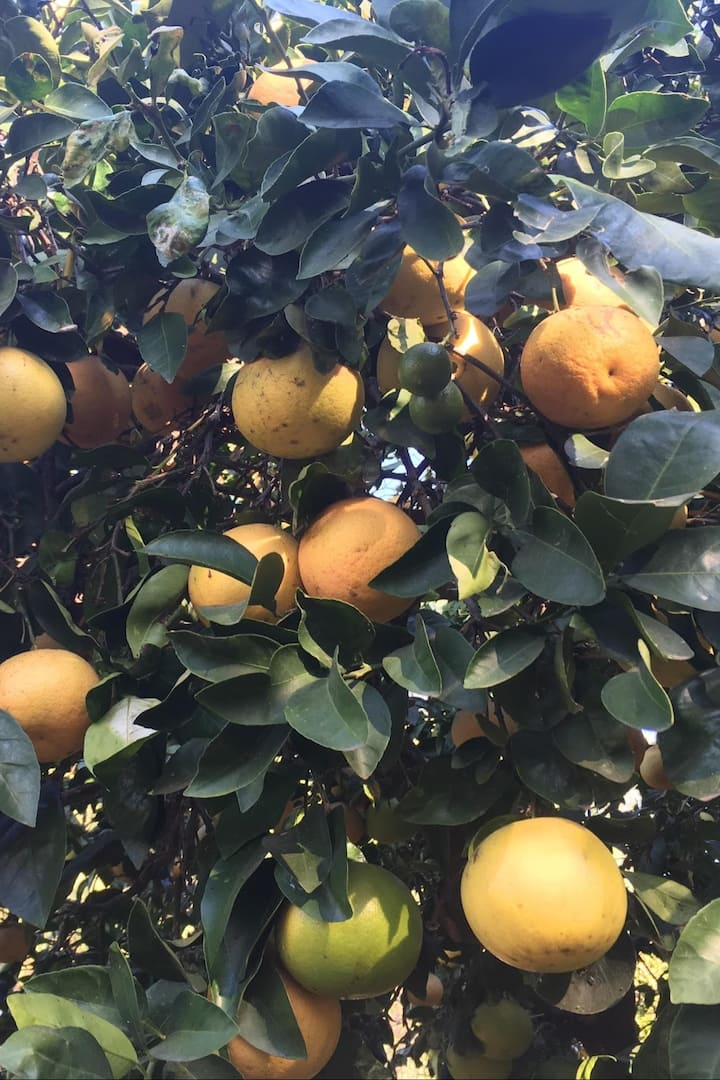 Citrus galore