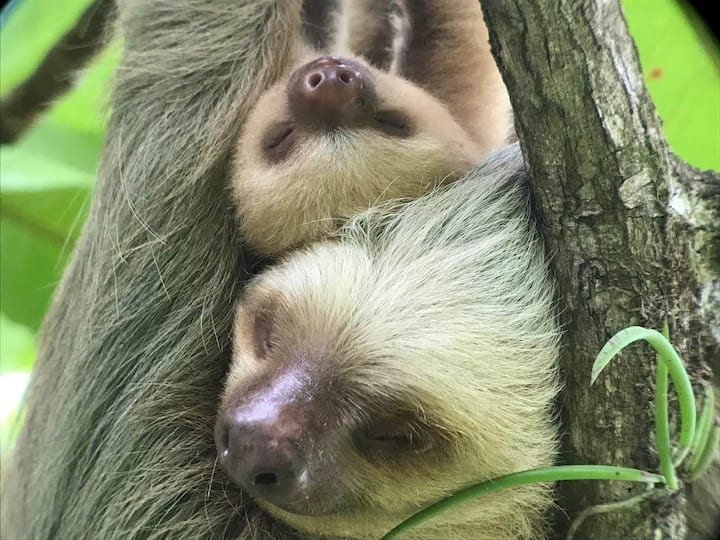A female sloth and its kid