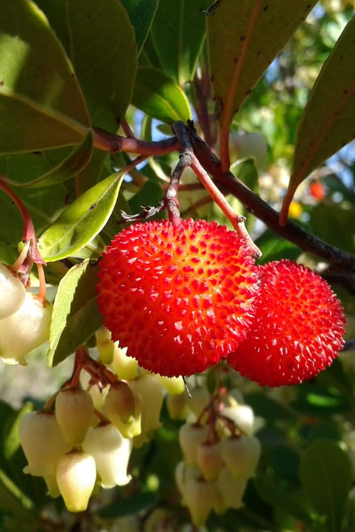 Strawberry tree fruit and flower
