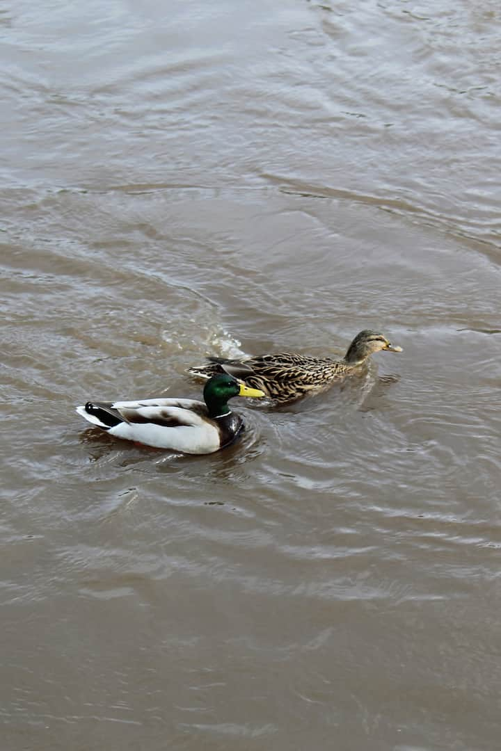British Ducks