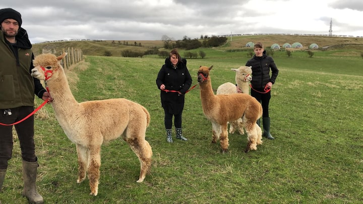 Lovely, calm, gentle Alpacas